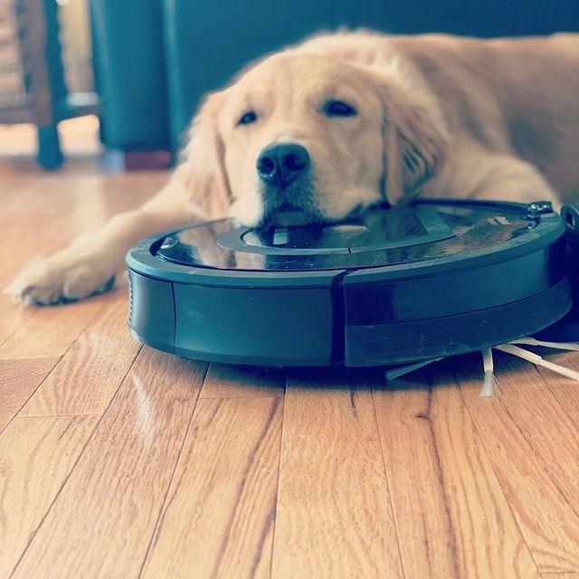 """Când te bucuri că robotul învârtitor s-a oprit în cele din urmă"" @cashew_the_golden_boy #makesagoodpillow #roomba #irobot #clean #vacuuming #hairfordays #furbaby #goldensofinstagram #gloriousgoldens #cutest_goldens #goldenretrieversofinstagram #goldenretrievers #puppylove #puppies #puppiesofinstagram #puppy #goodboy #doglovers #mustlovedogs #dog #dogs #puppyoftheday #dogoftheday #puppygram #dogsofinstagram #newhampshire #fall #lifeisgolden #sillyboy #gofetch"